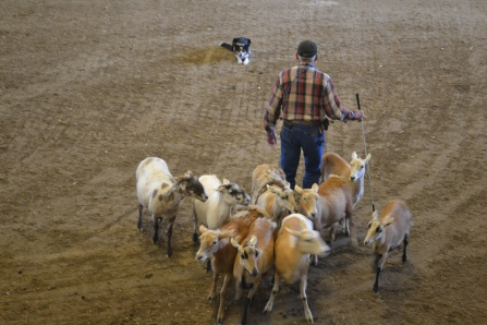 Iowa Sheep & Walnut 954